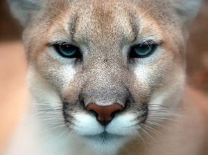 Cougar - Close-up of face