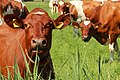 Cows (51911166).jpeg