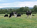 Cows and farmland in South Notts - geograph.org.uk - 908337.jpg