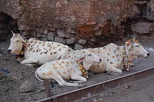 Sacred cow - Simple English Wikipedia, the free encyclopedia