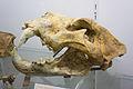 Crâne de grand lion des cavernes.jpg