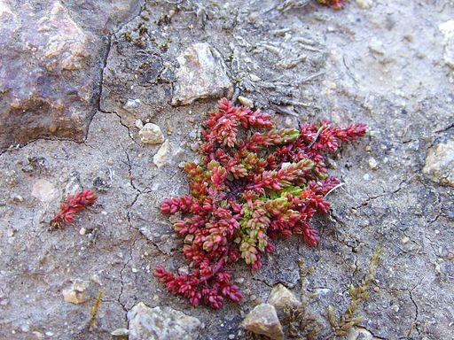 Crassula tillaea
