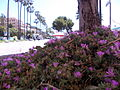 Crassulacea Oneglia.JPG