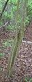 Crataegus spathulata trunk.jpg