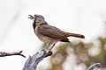 Crested Bellbird (Oreoica gutturalis) (8079683769).jpg