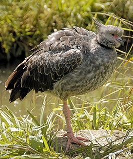 Crested screamer arp.jpg