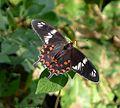 Crimson Rose. Pachliopta hector. Papilionidae - Flickr - gailhampshire.jpg
