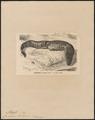 Crocodilus lucius - 1700-1880 - Print - Iconographia Zoologica - Special Collections University of Amsterdam - UBA01 IZ12200037.tif
