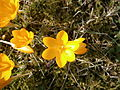 Crocus ancyrensis close-up3.jpg
