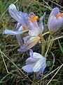 Crocus nudiflorus Flowers Closeup SierraMadrona.jpg