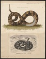 Crotalus durissus - 1700-1880 - Print - Iconographia Zoologica - Special Collections University of Amsterdam - UBA01 IZ11700025.tif
