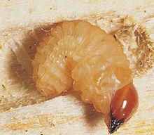 Corc del pollancre viquip dia l 39 enciclop dia lliure - Parasites du bois maison ...