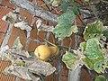 "Cucurbita moschata Bell group ""Anco"" mature fruit on its vine.jpg"