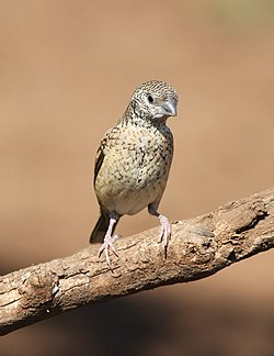 Cut-throat finch, Amadina fasciata at Mapungubwe National Park, Limpopo, South Africa (album includes copulating pair) (17863816712).jpg