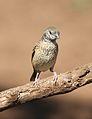 Cut-throat finch, Amadina fasciata at Mapungubwe National Park, Limpopo, South Africa (album includes copulating pair) (17863816712).jpg