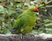 Cyanoramphus novaezelandiae -Nga Manu Nature Reserve, Waikanae, New Zealand-8.jpg