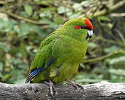A green parrot with blue-tipped wings and a red forehead