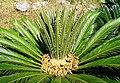 Cycas revoluta1327B.JPG