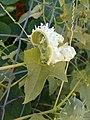 Cyclanthera brachystachya Fructus exploded.jpg