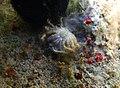 Cyclax cf. suborbicularis, face ventrale.jpg