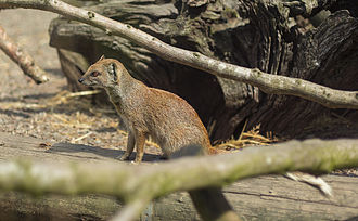 Yellow mongoose - A yellow mongoose in Lake District Wildlife Park, Cumbria, northwestern England.