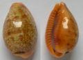 Cypraea bregeriana.jpg