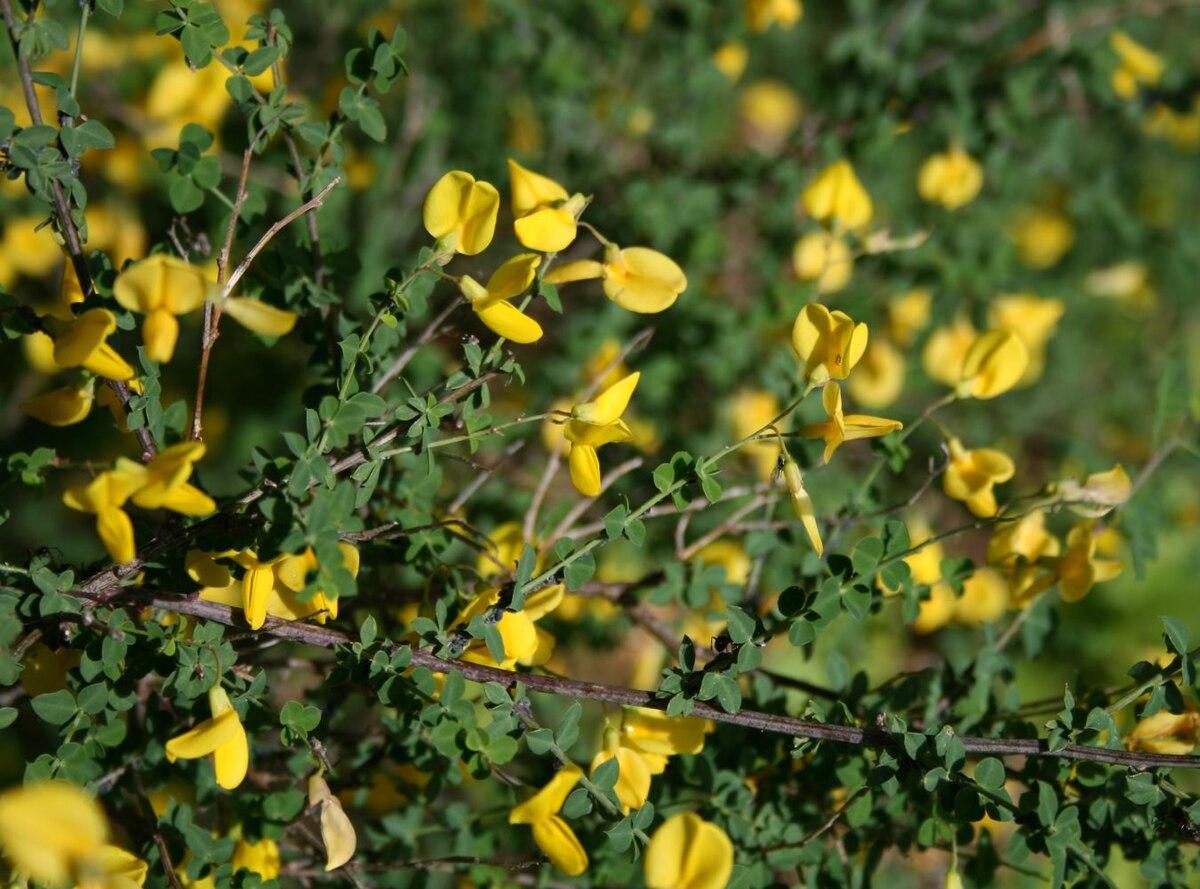 Cytisophyllum sessilifolium  Wikipedia, la enciclopedia libre