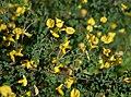Cytisophyllum sessilifolium 4.jpg