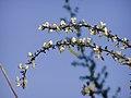Cytisus multiflorus.jpg