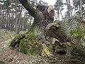 Dąb Wolinian 2 - panoramio.jpg
