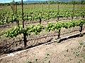 DSC31050, Darioush Winery, Napa Valley, California, USA (6036893307).jpg