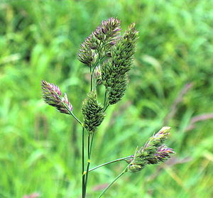 Dactylis - Dactylis glomerata  in Dornoch, Scotland