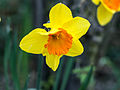Daffodil (7013642645).jpg
