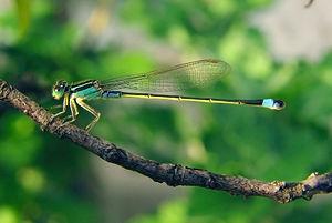 Mavi Kuyruklu Kız Böceği