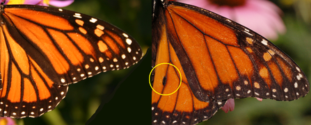 Danaus plexippus female (l) - male (r).png