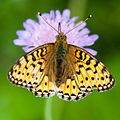 Dark Green Fritillary (9326548984).jpg