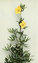 Dasiphora fruticosa WFNY-096B.jpg