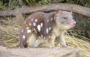 Quoll imaged at a rescue park, Tasmania, Austr...