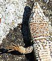 Dead Podarcis muralis 38.JPG