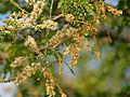 Delagoa Thorn (Acacia welwitschii) (11451497456).jpg