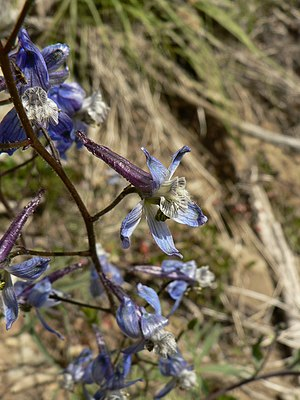 Pedicel (botany) - The inflorescence of Delphinium nuttallianum. Each flower is held on a pedicel from one to several centimeters long.
