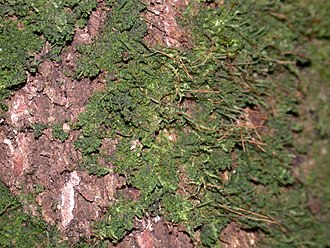 Hornwort - The hornwort Dendroceros crispus growing on the bark of a tree.