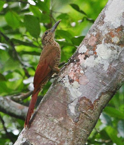 Trepador colorado - Trepatroncos rayado - Dendrocolaptes picumnus.
