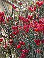 Desert Broom (Cadaba aphylla) (31939057104).jpg