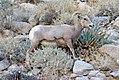 Desert bighorn ewe eating agave (5282238460).jpg