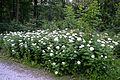 Detmold - 2014-06-13 - LIP-066 - Tanacetum macrophyllum (16).jpg