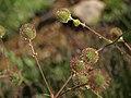 Developing fruits of bigleaf avens, Geum macrophyllum var. perincisum (28814468858).jpg