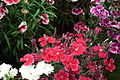 Dianthus 7132.JPG