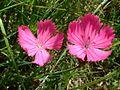 Dianthus carthusianorum2.jpg