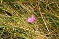 Dianthus monspessulanus sp2.JPG